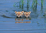 Tiger Cubs Swimming Click to zoom in