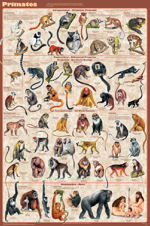 Primates Educational Poster