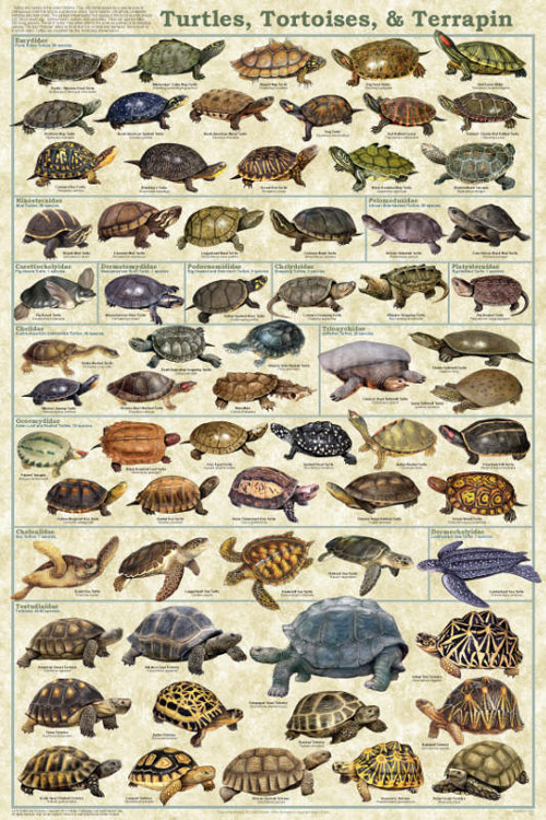 Turtles Tortoises and Terrapin Poster